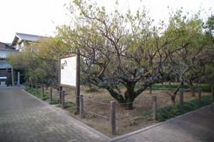 臥龍梅公園(御薗町新開)