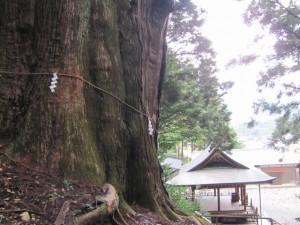 黒瀧神社の夫婦スギ(松阪市飯高町森)