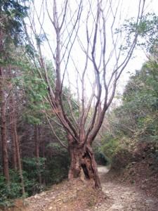 十五町付近の古木(朝熊岳道)