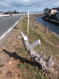 ハマボウの群生(浜郷小学校記念公園)