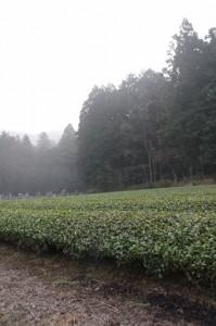 墓地付近の茶畑(度会町下久具)