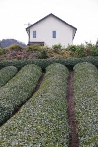 日進小学校付近の茶畑(大台町新田)