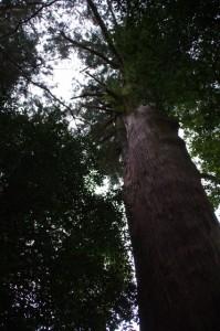 川添神社の大杉(大台町)