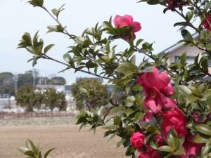 箕曲神社とサザンカ(伊勢市小木町)