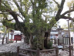 一色神社神樹「長寿の樹」(伊勢市一色町)