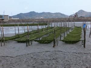 深浦橋付近の海苔養殖(二見町松下)