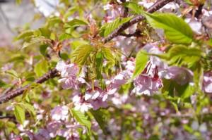 大慈寺付近の石階から眺める桜(志摩市大王町)