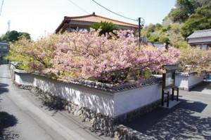 大慈寺付近の石階から眺める大慈寺のてんれい桜(志摩市大王町)