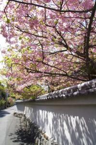 大慈寺のてんれい桜(志摩市大王町)