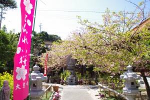 てんれい桜の幟と桜(大慈寺)