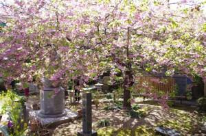 てんれい桜の原木とそれを示す標石(大慈寺)
