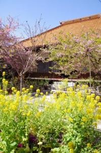 菜の花とてんれい桜(大慈寺)