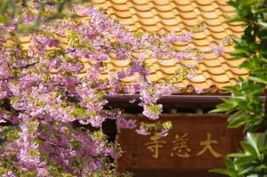 てんれい桜(大慈寺)