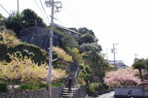 大慈寺付近の石階と桜(志摩市大王町)