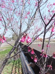 箕曲神社の寒緋桜と桜(伊勢市小木町)