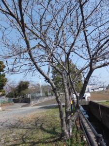 箕曲神社の桜の木々(伊勢市小木町)