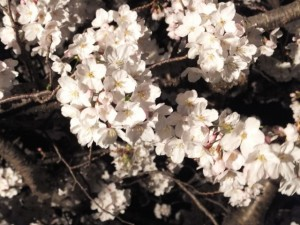 王中島公民館の夜桜(伊勢市御薗町)