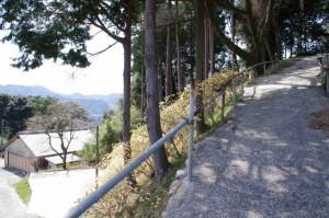 坂本農村公園駐車場付近のミツマタ(坂本棚田)