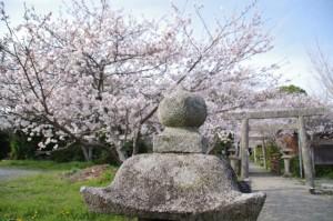 有田神社の桜(伊勢市小俣町)
