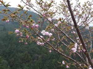 宮山の山頂から見はらし場への途中の桜(伊勢市横輪町)