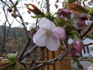 横輪桜(伊勢市横輪町)
