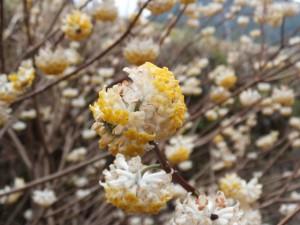 横輪川の川辺に咲くミツマタ(伊勢市横輪町)