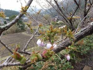 桂林寺前の横輪桜(伊勢市横輪町)