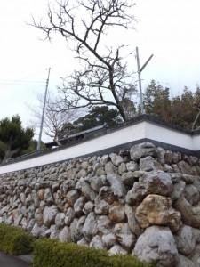 桂林寺の横輪桜(伊勢市横輪町)
