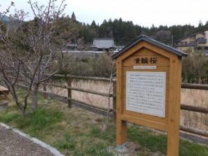 横輪桜の説明板(伊勢市横輪町)
