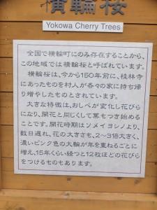 横輪桜の説明文(伊勢市横輪町)