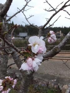 横輪桜と桂林寺(伊勢市横輪町)