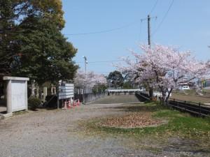 箕曲神社の桜と春の落葉(伊勢市小木町)