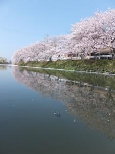 桧尻川の桜(伊勢市)