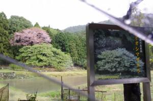 「家建の茶屋跡」のオオシマザクラ(志摩市磯部町)