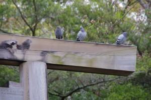 鳥居の鳩たち(伊雑宮)