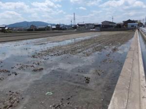 箕曲神社付近の水田(伊勢市小木町)