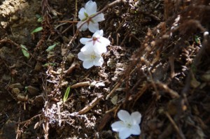 落ちた桜の花(旧国束山参道、国束山(山コース))