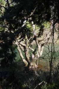 新池の水中から生える木(弘法石~アスピア玉城)