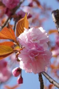ヒジヤ池付近の桜(弘法石~アスピア玉城)