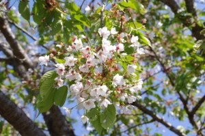 新池付近の桜(弘法石~アスピア玉城)