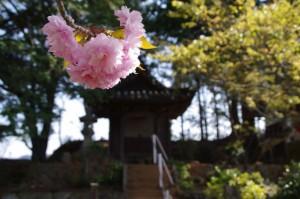 石佛庵跡にある桜と金比羅社(度会郡玉城町原)