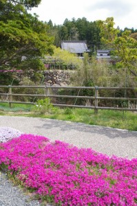 芝桜と桂林寺(伊勢市横輪町)