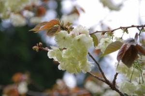 横輪川付近の御衣黄桜(伊勢市横輪町)