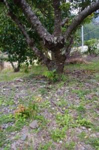 花卉市場出荷用に切られた横輪桜の木(伊勢市横輪町)