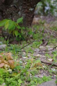 根から生える横輪桜の新芽(伊勢市横輪町)