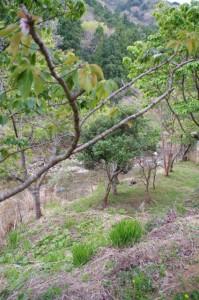 鹿による被害を受けた横輪桜(伊勢市横輪町)