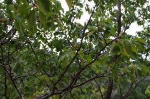ウソ(鳥)による被害を受けた横輪桜(伊勢市横輪町)