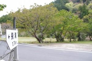 「飛滝」入口付近の横輪桜(伊勢市横輪町)