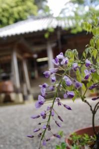 藤と本堂(太江寺)