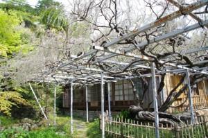 太江寺の藤棚